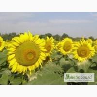 Семена подсолнечника Римми (под евро-лайтинг) Нови Сад