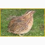 Яйца инкубационные перепела Фараон Испанский и молодняк