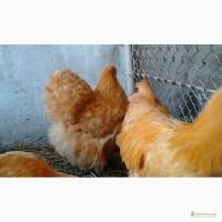 Инкубационные яйця кур породы Орпингтон Желтый