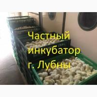 Цыплята бройлера КОББ 500, РОС 308