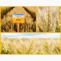 Пшеница озимая Донецкой селекции Богиня