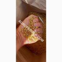 Семена ячменя JEROM озимый канадский трансгенный сорт