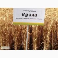 Семена озимой пшеницы Вдала