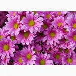 Продаю укорененные саженцы хризантемы