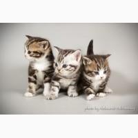 Котята мальчики и девочки очень редкой породы Американская короткошерстная