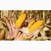 Насіння кукурудзи Яніс (ФАО 270)