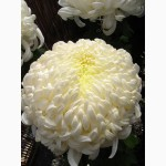 Укорененные саженцы хризантемы