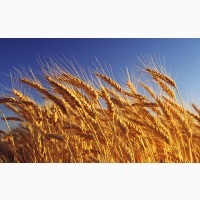 Продам посевной материал пшеницы Шестопаловка Елита