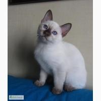 Тайские котята, шоколадный котик Кекс