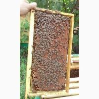 Матки пчелиные породы БАКФАСТ