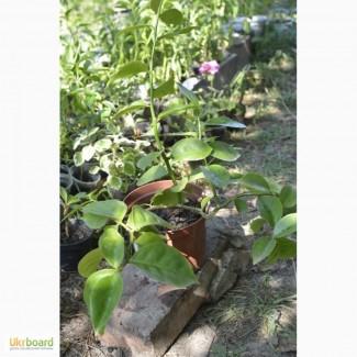 Продам листовой кактус переския