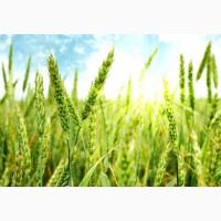 Сильна пшениця Мелодія Одеська
