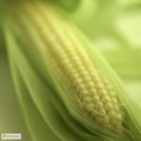 Семена кукурузы от Института орошаемого земледелия НААН (Любава, Оржица, Солонянский и т.д)