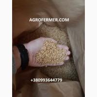 Семена пшеницы ALMA озимый канадский трансгенный мягкий сорт