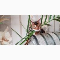 Бенгальская кошка в Киеве. Продажа котят бенгальской кошки. Киев