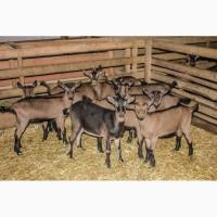 Племенной молодняк коз Альпийской породы. Рождение - ноябрь-декабрь 2018 года
