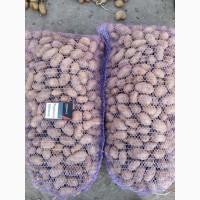 Продам картофель семенной сорта Гранада Королева Анна и Волара от поставщика