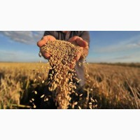 Продам пшеницю, кукурудзу, ячмінь, горох