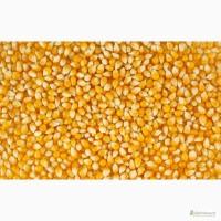Закуповуємо кукурудзу за готівку