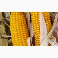 Кукурудза ВН 63, ВНІС пропонує: Насіння гібридної кукурудзи