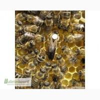 Продам матки карпатских пчел