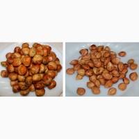 Медвежьего ореха прошлогодние семена (для проращивания и прививки фундука)