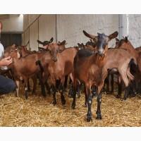 Племенной молодняк коз альпийской породы. Рождение - март-апрель 2018 года