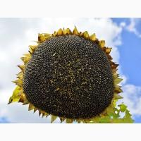 Семена подсолнечника от АГРОЕМГА сербской селекции Тамиш