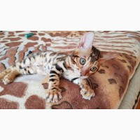 Бенгальская кошка. Бенгальские котята купить. Запорожье