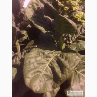 Продам семена махорки и табака 30 грн 600 шт