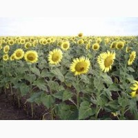 Семена подсолнечника от АГРОЕМГА сербской селекции НС-Сумо-2018 под гранстар