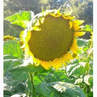 Семена подсолнечника от АГРОЕМГА Динара ультраранний сербы