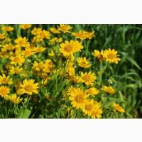 Арника горная (цветы) 1 кг