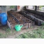 Продам технологических червей для рыбалки и производства биогумуса