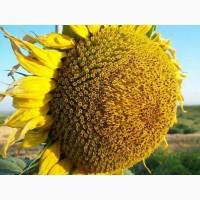 Семена подсолнечника СИ Барбати под Евролайтинг