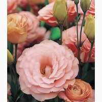 Продам семена Эустома АВС 2 F1 Розовая крупноцветковая махровая