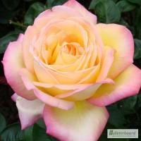 Саженцы роз Глория Дей