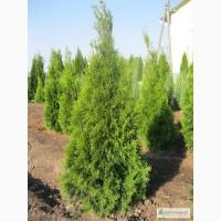 Продам 7-10 летние растения, в том числе тую Смарагд Экстра