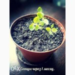 Продам семена Павловнии 2016 года