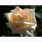 Саженцы роз Осиана