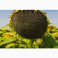 Семена подсолнечника Ласкала