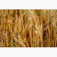 Куплю зерновые всех видов