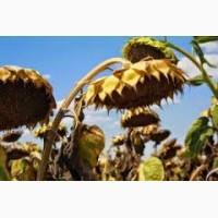 Семена подсолнечника от АГРОЕМГА Жалон Семена Французкой селекции