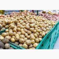 Закупаю картошку харчову та семеную