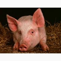 Продам свиней    Черкассы и область    КУПИТь свиней живой вес 10/20/100 кг