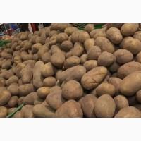 Куплю картошку харчову та семеную