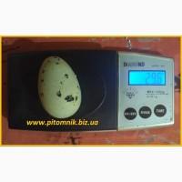 Яйца перепелиные BIO - премиум индоперепел
