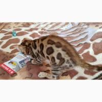 Купить бенгальского котенка с клубными документами