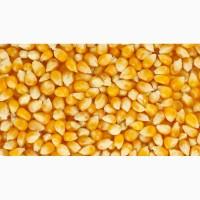 Скуповлюєм кукурудза некласна високі ціни