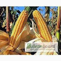 Даниил гибрид кукурузы урожай 2016г. фао 280
